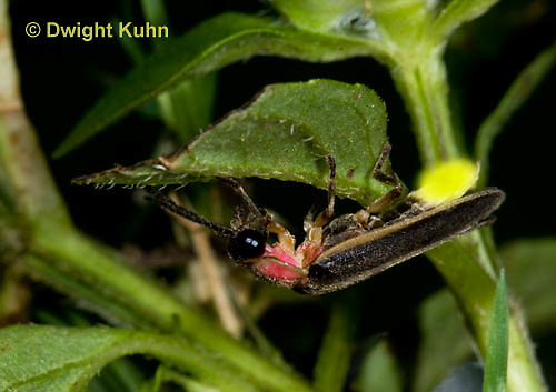 1C24-726p    Pyralis Firefly, Lightning Bug Male,  Photinus spp.
