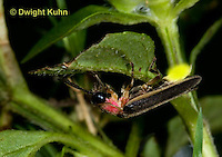 1C24-726p    Pyralis Firefly, Lightning Bug Male,  Photinus spp.