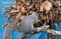 MA23-520z  Gray Squirrel at Nest in the tree branches, Sciurus carolinensis, © Brian Kuhn/Dwight Kuhn Photography
