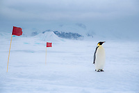 Snow Hill Island, Antarctica. Emperor penguin follows the marked hiking path as it traverses the ice towards the sea.