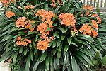 KAFFIR LILY, CLIVIA MINIATA, CLUMP FLOWERING IN SHADE HOUSE