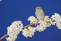 Chipping Sparrow (Spizella passerina), adult on blooming Mexican Plum (Prunus mexicana), New Braunfels, San Antonio, Hill Country, Central Texas, USA