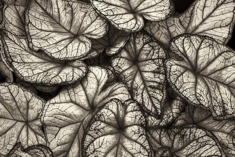 Close up of Caladium leaves. Oregon
