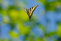 Western Tiger Swallowtail (Papilio rutulus) flying.