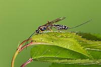Schlupfwespe, Coleocentrus excitator, Ichneumon excitator, parasitoid wasp, Schluptwespen, Ichneumonidae, parasitoid wasps