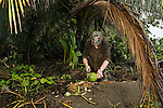 Jaguar (Panthera onca) biologist, Ian Thomson, chopping coconut to drink on beach, Tortuguero National Park, Costa Rica