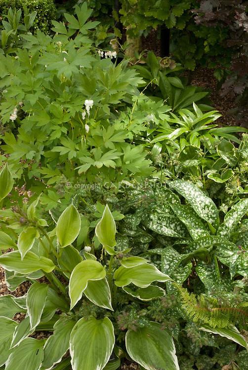 Shade garden plants: Hosta undulata var. albomarginata & Pulmonaria grandiflora variegated foliage plants, ferns, Helleborus