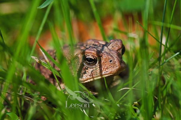 American Toad (Bufo americanus) peeks through grass near Lake Erie shoreline, late summer, southern Ontario, Canada..