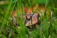American Toad (Bufo americanus) peeks through grass near Lake Erie shoreline, late summer, southern Ontario, Canada..