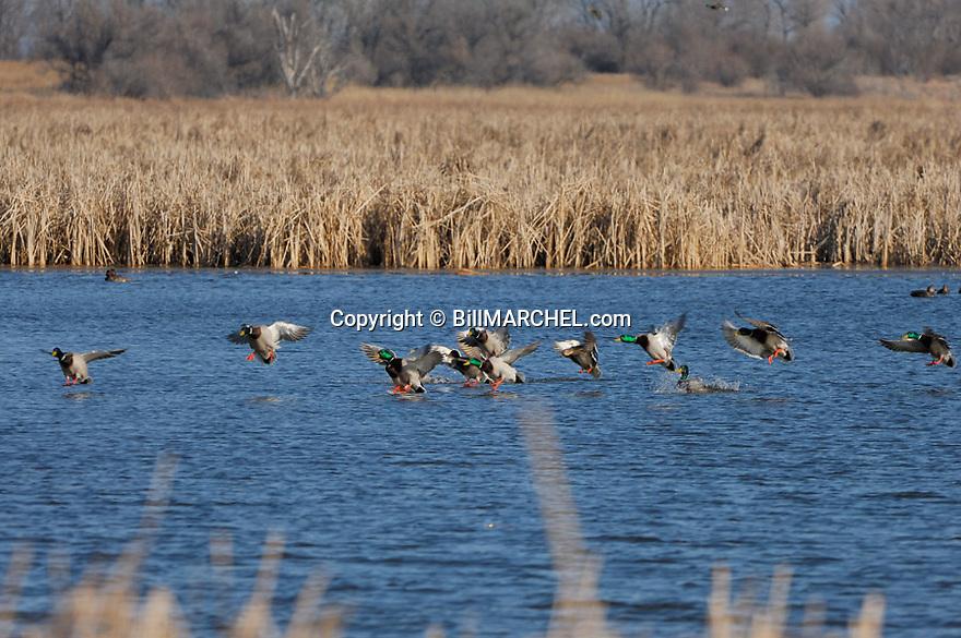 00330-067.19 Mallard Duck (DIGITAL) flock is about to land in ideal cattail habitat. Waterfowl, hunt, pothole.  H1F1