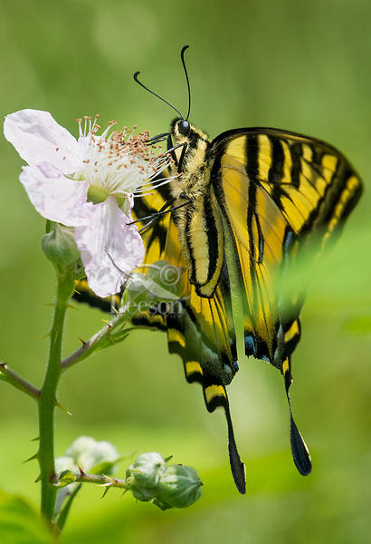 Western Tiger Swallowtail (Papilio rutulus) nectaring on  blackberry blossom.  Pacific Northwest.  May.