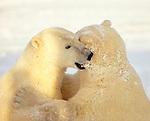 Polar bears sparring, Churchill, Manitoba, Canada
