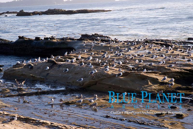 Seagulls on the rocks at Stillwater Bay, California