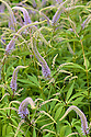 Veronicastrum virginicum 'Pointed Finger', end June.