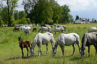 ROMANIA Transylvania, Fogaras, Lipizzaner horse breeding/ RUMAENIEN Transsilvanien Siebenbuergen, Fogaras, Lipizzaner Pferde Gestuet, Pferdezucht