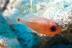 Apogon quadrisquamatus, Sawcheek cardinalfish, Florida Keys