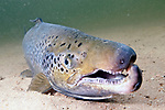 Landlock Atlantic Salmon male, Squam Lake, NH, close-up showing kype, or hook on lower jaw.