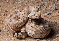 Sidewinder -Crotalus cerastes - From the low desert where it is sandy and hot. These small rattlesnakes are very common and very photogenic.