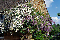 Clematis montana var. sericea with Wisteria on stone house wall, two different climbing vines planted together, masses of flowers in spring