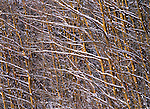 Snow sticks to the branches of an Aspen stand in the Chilkat Valley of Alaska.