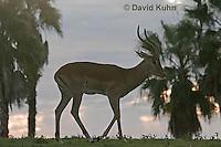 "0218-08pp  Impala Antelope ""Silhouetted against Sunset"", Aepyceros melampus © David Kuhn/Dwight Kuhn Photography"