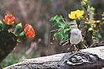 Northern Mockingbird among flowering cacti in South Texas.