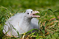Northern Giant-Petrel (Macronectes halli) downy chick on its nest on Enderby Island in the Aukland Islands, New Zealand.