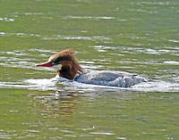 Female common merganser