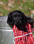 A black Labrador retreiver puppy (AKC) with his head/paws hanging over the edge of a pail.  Birchwood, WI