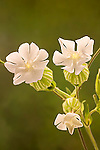 Night-Flowering Catchfly, Silene noctiflora, alien