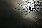 Bald eagle silhouette (Haliaeetus leucocephalus)<br />