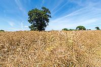 Desiccated OSR almost ready for harvest - Norfolk, July