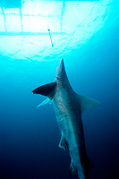 A dead sandbar shark, caught on a longline, hangs beneath a fishing boat in the central Philippines. Note mating scar on flank below dorsal. This female was probably pregnant.