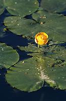 Gelbe Teichrose, Große Mummel, Nuphar lutea, Brandy Bottle, Yellow Pond Lily, Yellow Water Lily