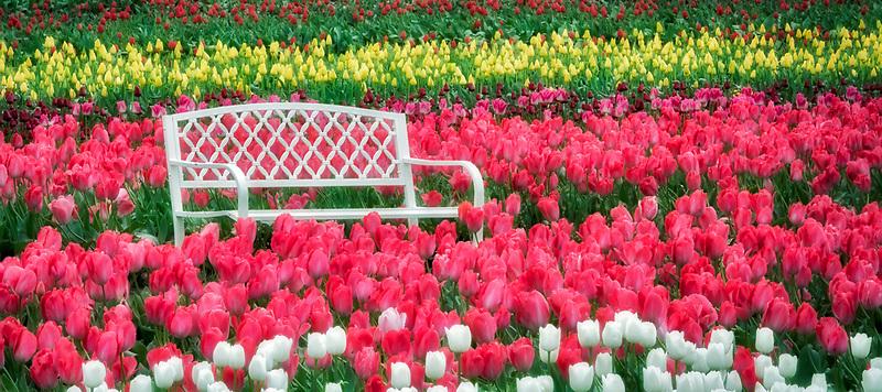 Bench in tulip field. Wooden Shoe Tulip Farm. Woodburn, Oregon