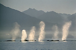 A pod of Humpback Whales exhale simultaneously through their blowholes while swimming in Frederick Sound, Alaska (composite)