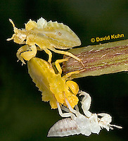 "0727-07xx  Three Ambush Bug Nymphs, Variations in Color - Phymata spp. ""Nymph in Virginia"" - © David Kuhn/Dwight Kuhn Photography"