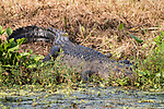 Damon, Texas; a large adult American Alligator resting on the bank of the slough, warming itself in afternoon sunlight