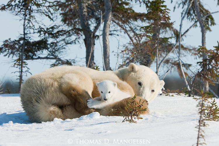 A polar bear cub plays near its resting mother in Manitoba, Canada.