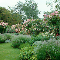 Delicate pink rose trees punctuate fragrant beds of lavender and mint in this English garden