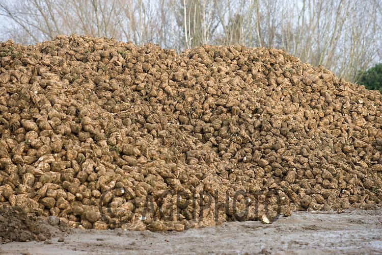 A sugar beet  heap in a farmyard..
