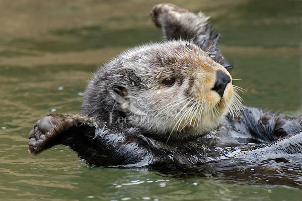 Sea Otter (Enhydra lutris) stretching after short nap..