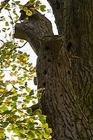 GERMANY, Plau, forest / DEUTSCHLAND, Plau, Wald, alte Kiefer mit Spechtloechern, Baumdenkmal
