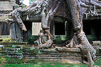 Strangler fig (Ficus sp. ) tree roots on Preah Khan Temple, Angkor Wat, Cambodia