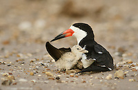 Black Skimmer (Rynchops niger), adult with young, Port Isabel, Laguna Madre, South Padre Island, Texas, USA