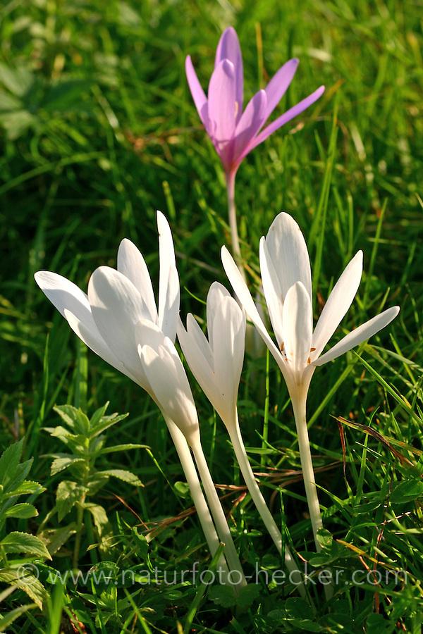 Herbst-Zeitlose, Herbstzeitlose, Colchicum autumnale, Colchicum autumnalis, Naked Ladies, Autumn crocus, meadow saffron, naked lady
