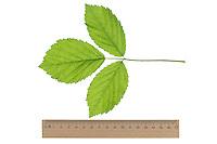 Brombeere, Echte Brombeere, Rubus fruticosus agg., Rubus sectio Rubus, blackberry, bramble, ronce. Blatt, Blätter, leaf, leaves