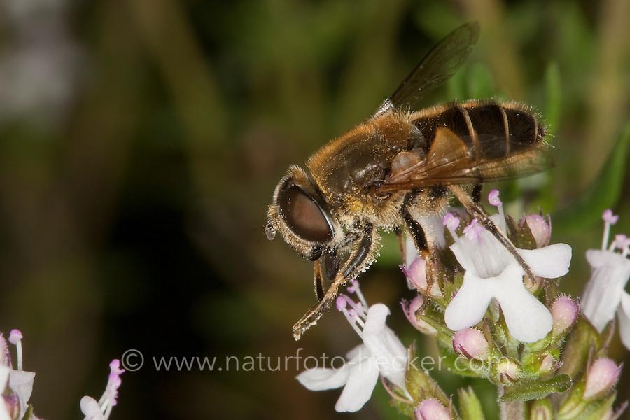 Bienen-Schwebfliege, Bienenschwebfliege, Mistbiene, beim Blütenbesuch, Nektarsuche, Bestäubung, Eristalis spec., drone fly