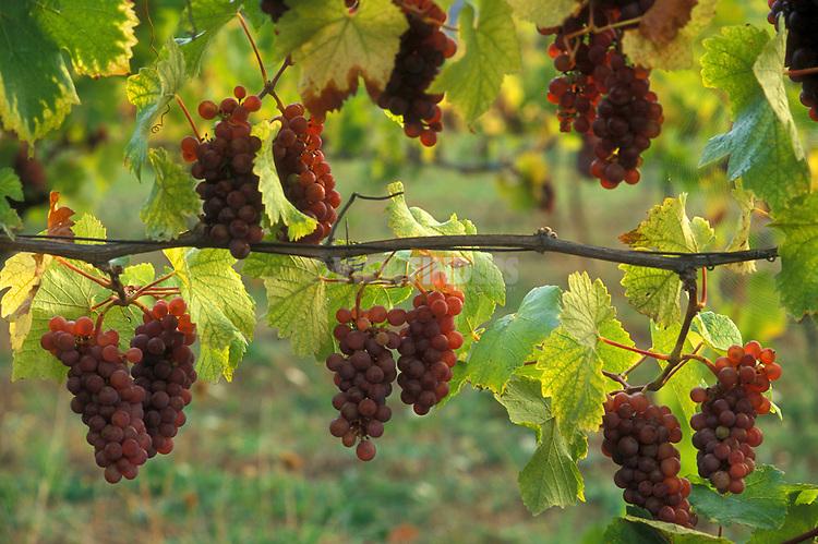 Pinot Gris wine grapes on vine; Champoeg Vineyards, Willamette Valley, Oregon..#9031-8212