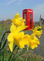 Daffodils with red phone box, Whitewell, Clitheroe, Lancashire.